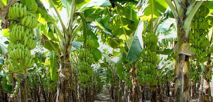 Banana Farmers To Benefit From 53m Beep Support