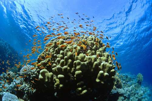 Caribbean's Coral Reefs May Disapper in 20-years