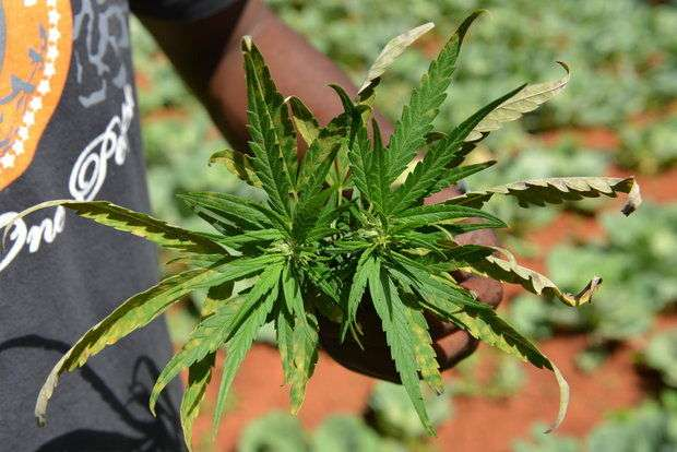 Cannabis Licensing Authority  Frustrating Entrance of Small Farmers In Formal Ganja Industry ?