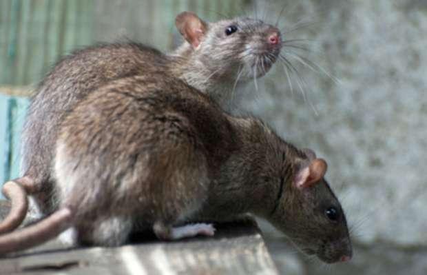 May Pen Rat Infestation