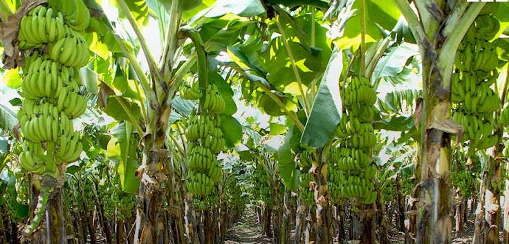 Banana Farmers to benefit from $53m BEEP Support