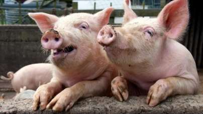 Thieves Make off with Over 70 Pigs in Lakes Pen