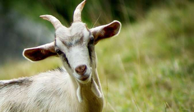 Goat Thief Pleads Guilty