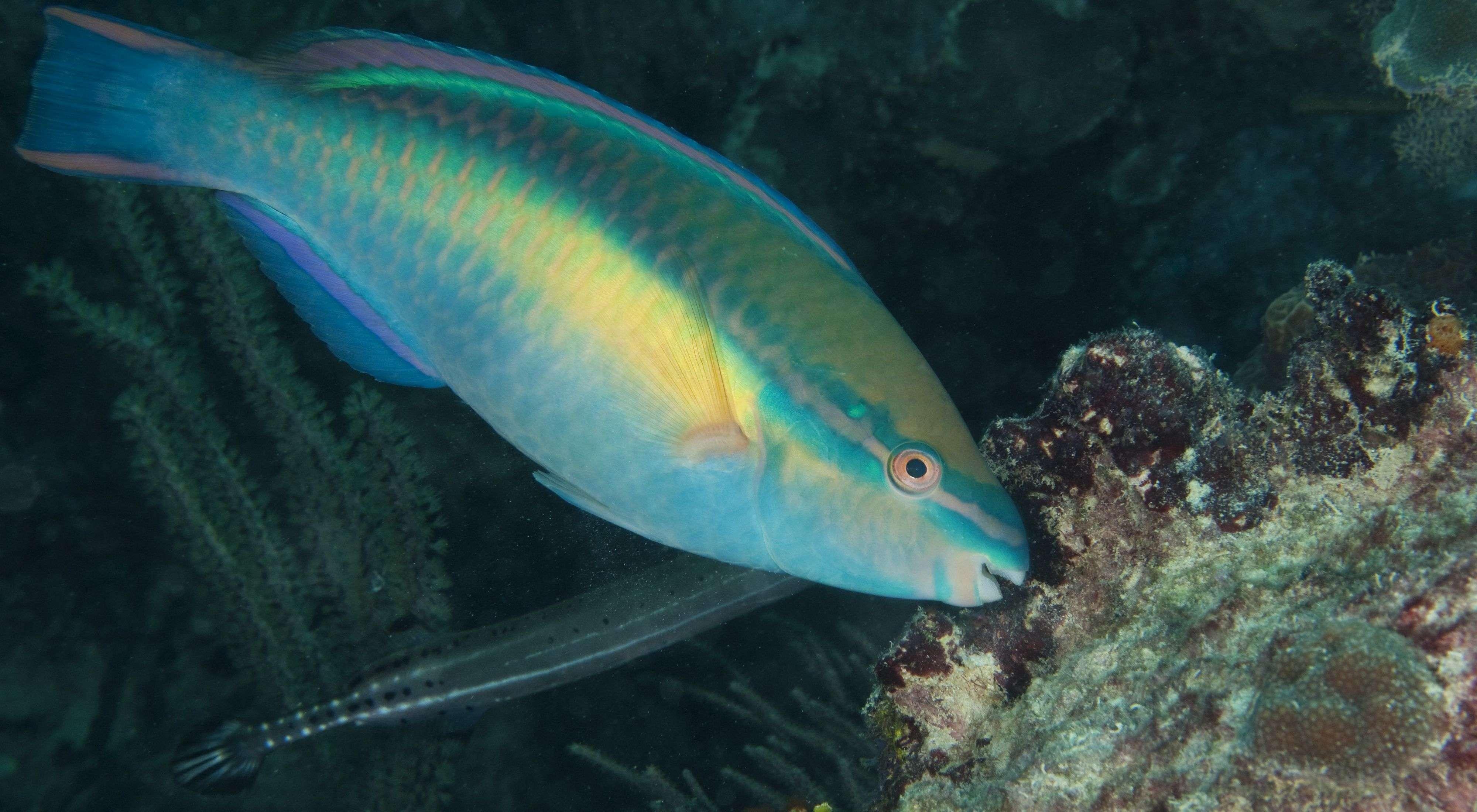 Stakeholders Split On Banning Of Parrot Fish