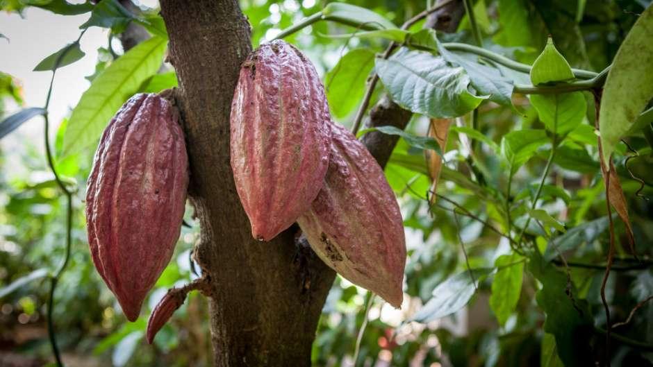 Gov't Moves to Rebuild Cocoa Industry