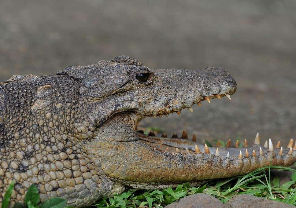 Beware of Crocodiles Roaming In Hellshire, NEPA Warns