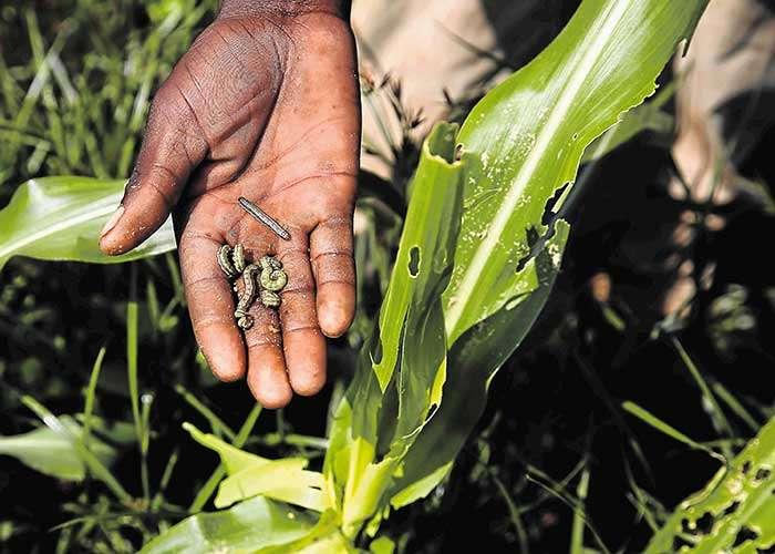 RADA Warns Farmers of Increase in Beet Armyworm