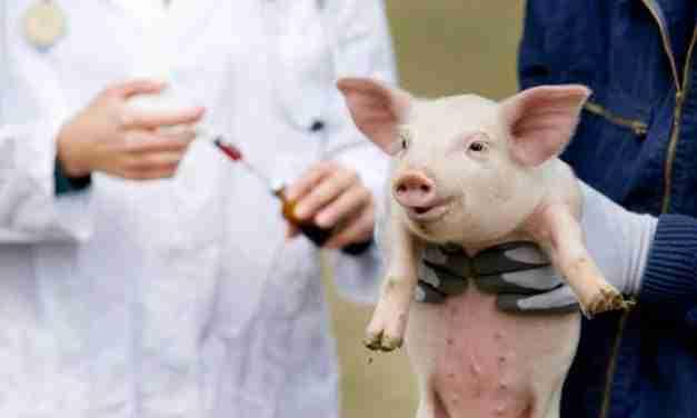 Jamaica On High Alert for African Swine Fever